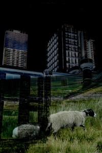 melbourne-sheepsmall